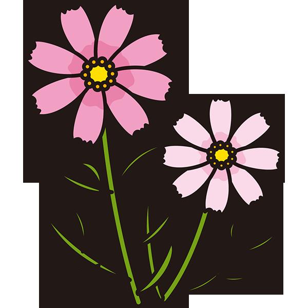 植物 コスモス(ピンク)(カラー)