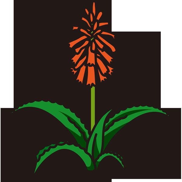 植物 アロエの花(カラー)