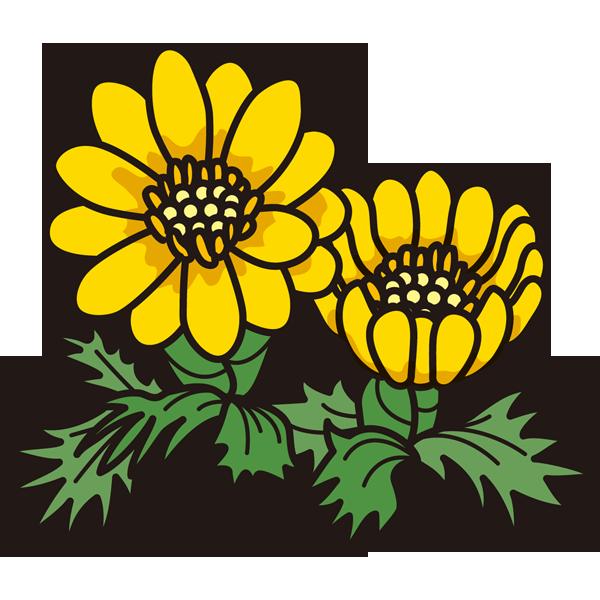 植物 福寿草(黄色)(カラー)