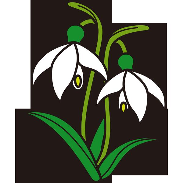 植物 スノードロップ(白色)(カラー)