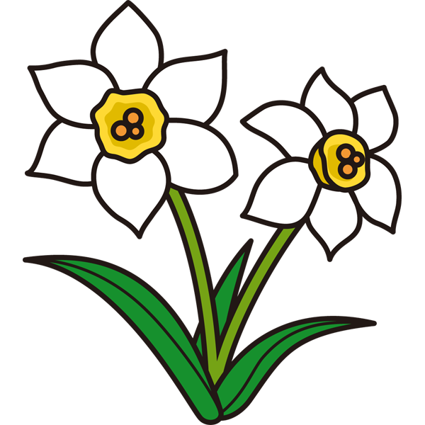 植物 スイセン(白色)(カラー)