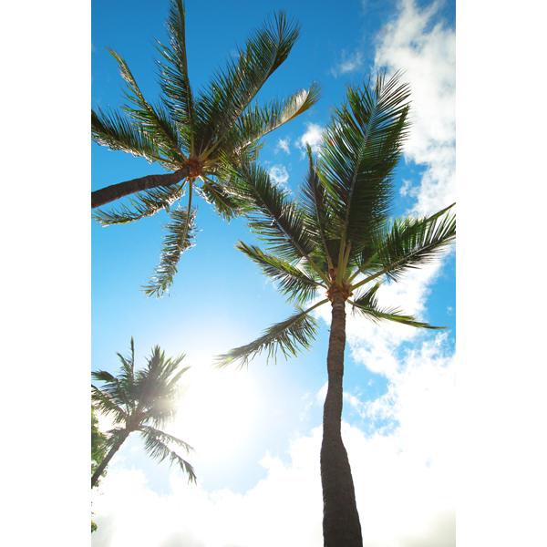 ハワイ ヤシの木