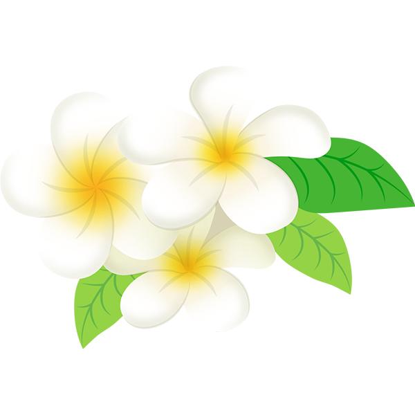 プルメリアの花 複数
