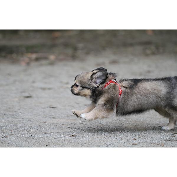 子犬 チベタンスパニエル 走る
