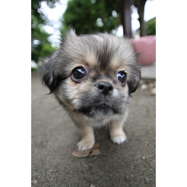 子犬 チベタンスパニエル アップ