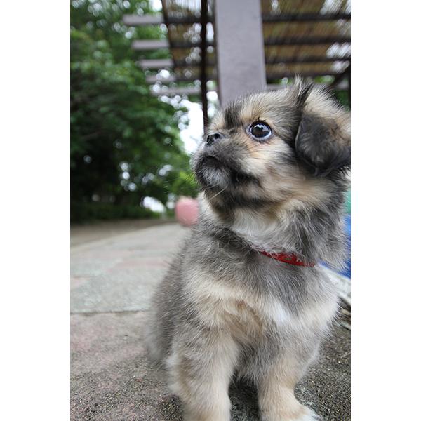 子犬 チベタンスパニエル 横顔